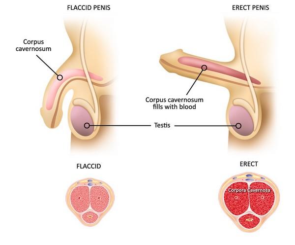 come allungare i legamenti del pene